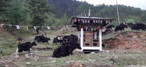 Migration of Yak to  their summer grazing grounds